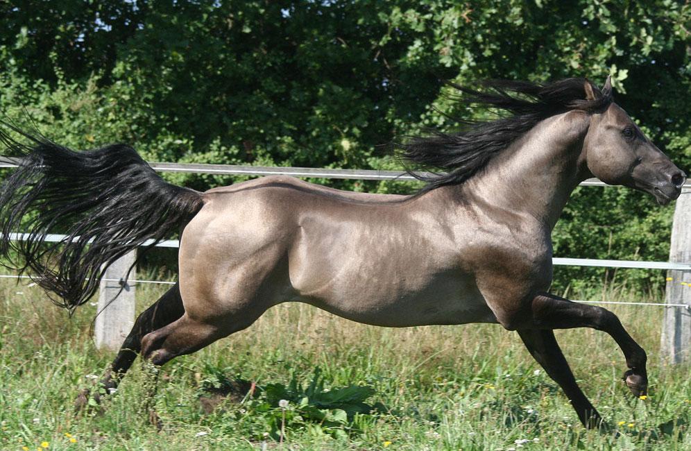 pferd smokey joe
